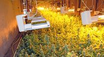Indoor-Hanfplantage Marihuana. (Symbolbild)