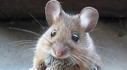 Die Mäuse mit der menschlichen Version von FOXP2 lernten das Futter schneller zu finden als die anderen Tiere. (Symbolbild)