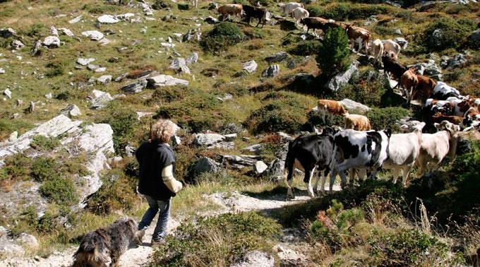 Symbolbild: Vieh wird im September zu Tale getrieben.